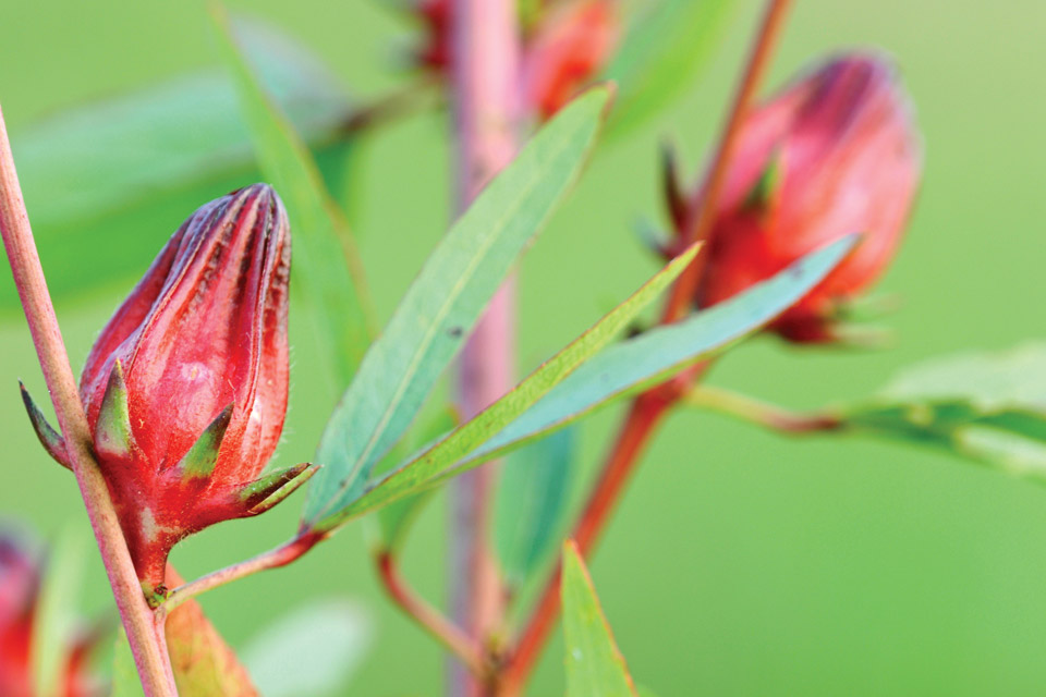 herbs-roselle
