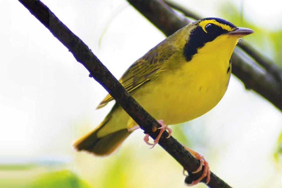 RTrips-Bird-watching-Kentucky-Warbler-John-Howard-300-dpi